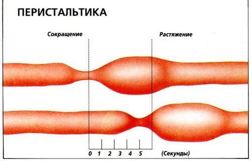 Перистальтика кишечного тракта