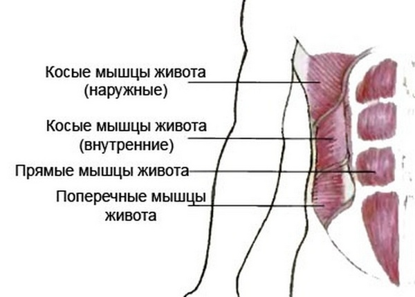 внутренние и наружные косые мышцы живота