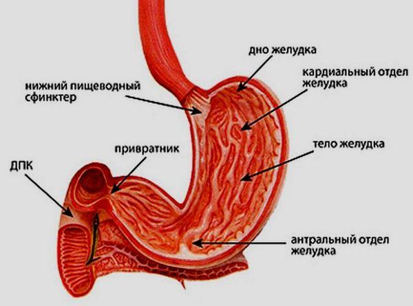 строение желудка и его пищеварение