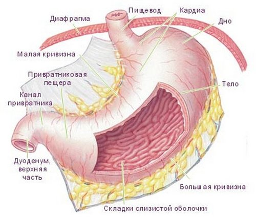 Строение стенок желудка человека
