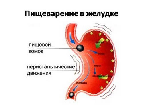 Пищеварение в желудке