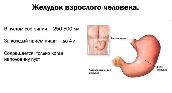 Объем желудка взрослого человека