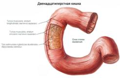 Строение и заболевания двенадцатиперстной кишка