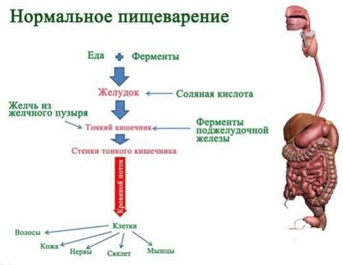 Ферменты желудка