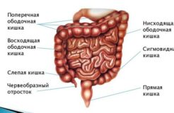 Виды ободочная кишка у человека, ее функции и заболевания