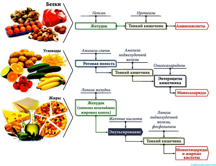 Ферменты желудка при попадании еды