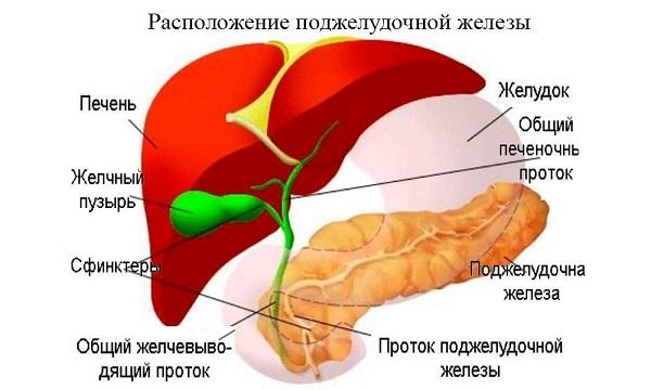 расположение и строение печени и поджелудочной железы