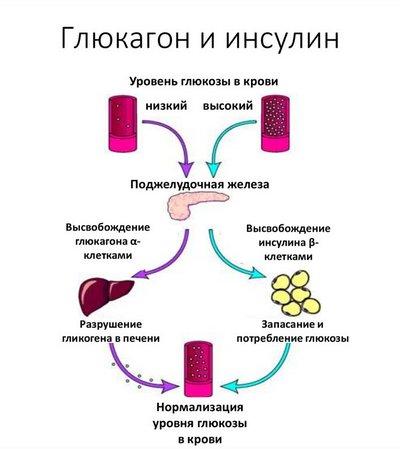 Инсулин и глюкагон