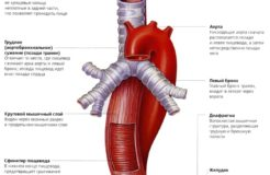 Анатомическое строение пищевода человека