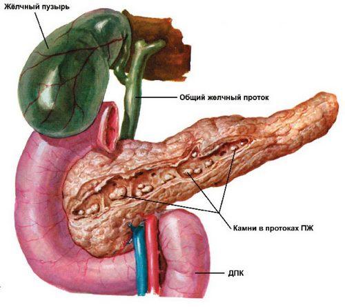 органы схематично в разрезе