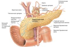 Как работает поджелудочная железа, ее функции