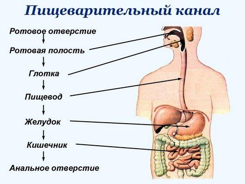 Строение пищеводных желез