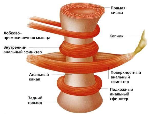 прямая кишка и мышцы